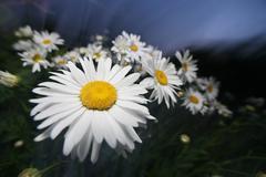 Beautiful daisy at twilight Stock Photos