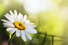 Beautiful daisy flower Stock Photos