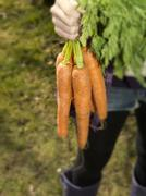 Germany, Teenage girl holding bunch of carrots - stock photo