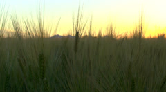 Wheat Stalks Sunset Stock Footage
