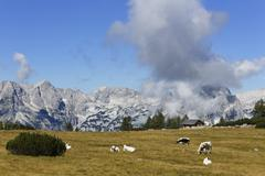 Austria, Upper Austria, Cows grazing grass at Totes Gebirge Mountains - stock photo