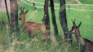 Stock Video Footage of Chamois Alpine Fauna