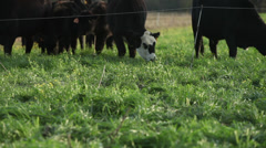 Grassfed Cattle Stock Footage