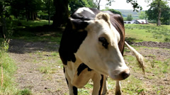 Nuisance flies around eyes of cow - stock footage
