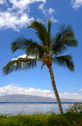 Lahaina Beach Palm - stock photo
