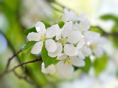 white flowers blooming - stock photo