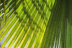 palm leaf background texture - stock photo