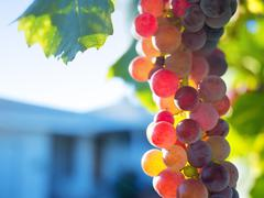 ripe grapes on grapevine - stock photo