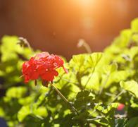 Red geranium flower Stock Photos