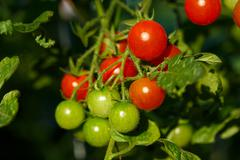 Ripe tomatoes growing Stock Photos