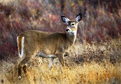 White tail deer national bison range charlo montana Stock Photos