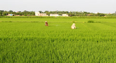 Farmers spraying pesticides in rice field Stock Footage