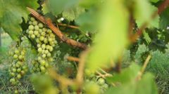 Vine with grapes (2) Stock Footage