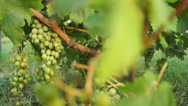 Stock Video Footage of Vine with grapes (2)