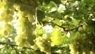 Stock Video Footage of Vineyard panning
