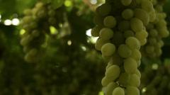 Grape vines close-up Stock Footage
