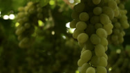 Stock Video Footage of Grape vines close-up
