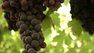 Stock Video Footage of Close-up of a grape on a vineyard