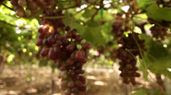 Vineyard close-up on a bunch o grapes - stock footage