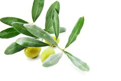 Olives with leaves on branch isolated over white - stock photo