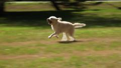 Dog Chases Tennis Ball Stock Footage