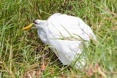 Great egret (ardea alba modesta) dying Stock Photos
