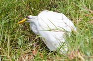 Stock Photo of great egret (ardea alba modesta) dying