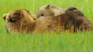 Stock Video Footage of Brown Bear cub feeding from female Bear, North America