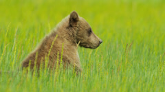 Brown Bear cub resting in summer grass, Alaska Stock Footage