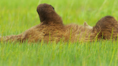 Alaskan Brown female Bear tenderly letting her baby cub feed, Alaska Stock Footage
