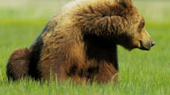 Brown Bear resting in the sun Wilderness area Yosemite National Park - stock footage