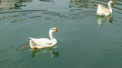 Beautiful white geese are swimming on the river. Stock Footage