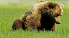 Large Alaskan Brown Bear resting in the summer sun,  Alaska, USA Stock Footage