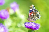 Stock Photo of red admiral, vanessa atalanta