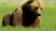 Canadian Brown Bear resting, British Columbia - stock footage