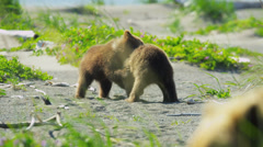 Playful Alaskan Brown Bear cubs enjoying summer time Alaska, USA Stock Footage