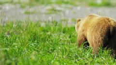 Brown Bear enjoying fresh grass in summer Wilderness Alaska, USA - stock footage