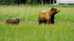Hitching a lift playful Brown Bear cubs playing, Alaska, USA Stock Footage