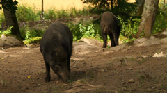 Wild boars searching for food Stock Footage