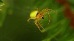Araniella cucurbitina spider chewing on its prey Stock Footage