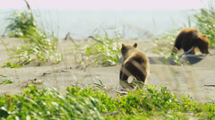 Canadian Brown Bear cubs playing catch me if you can, Canada Stock Footage