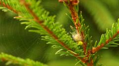 Araniella cucurbitina, egg sac, net Stock Footage