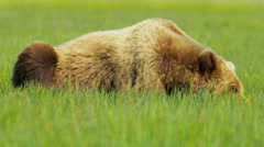 Brown Bear resting in summer Wilderness area, National Park, Alaska, USA - stock footage