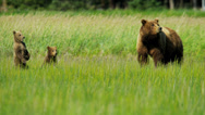 Stock Video Footage of Young Brown Bear cubs inquisitive of their surroundings