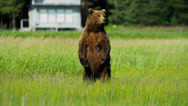 Stock Video Footage of Female Brown Bear Ursus arctos, keeping guard over her playful cubs Alaska, USA