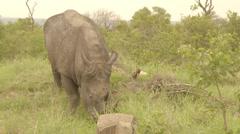 A grazing rhino Stock Footage