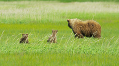 Young Brown Bear cubs relaxing guarded by adult female, Alaska, USA Stock Footage