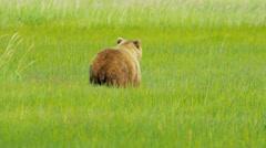 Female Bear Ursus arctos with young cubs feeding on vegetation Alaska, USA - stock footage