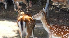 Deer bambi Stock Footage