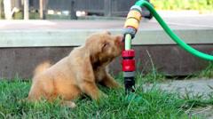 Puppy vizsla dog Stock Footage